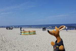Ryjek nad Morzem Baltyckim w majowke